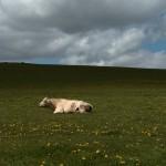 Ciné-Villeneuve présente Bovines ou la vraie vie des vaches