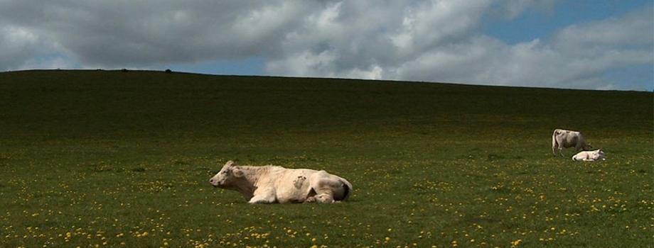 """Résultat de recherche d'images pour """"bovines"""""""